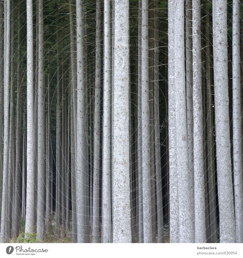 Group feeling. We're forest. Environment Nature Landscape Tree Tree trunk Forest Wood Line Row Stand Fat Thin Bright Tall Many Gray Multiple Subdued colour