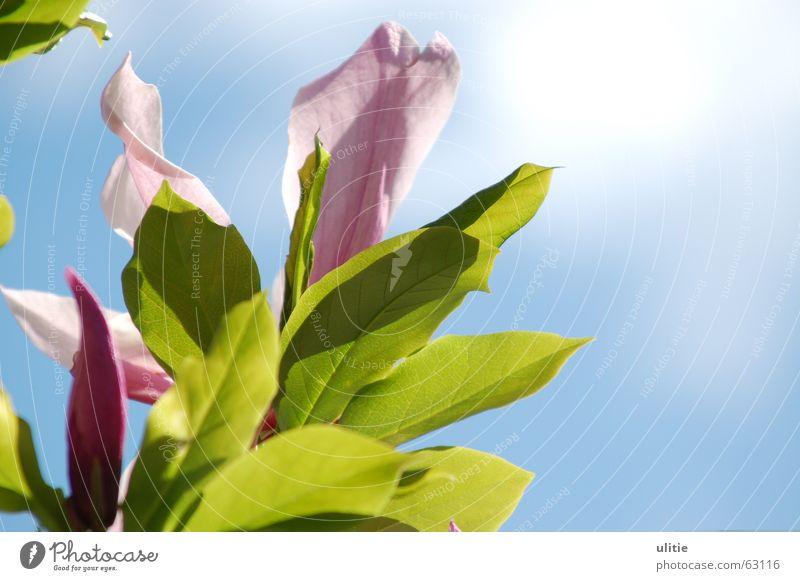 Nature Sky White Tree Sun Flower Green Blue Dark Blossom Bright Pink Bushes Magnolia plants