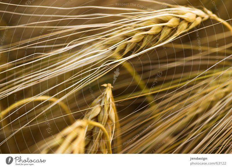 Summer Warmth Field Physics Grain Flour Coarse hair