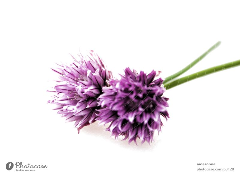 chives flowers Biology Blossom Harvest Edible Field Fresh Healthy Herbs and spices Green Agriculture Chives Violet Stalk Plant Hollow Fruit- or Vegetable stall