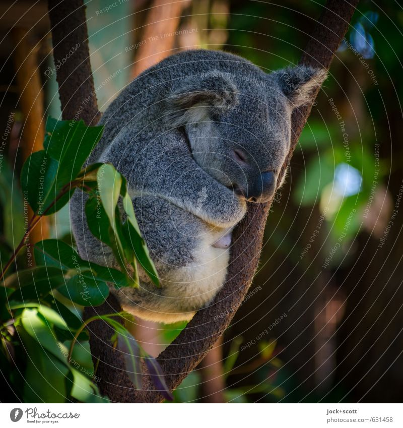Slow motion in all situations Nature Animal Exotic Branch Australia Koala 1 natural Warmth Emotions Safety (feeling of) Peaceful Idyll Hunting Blind