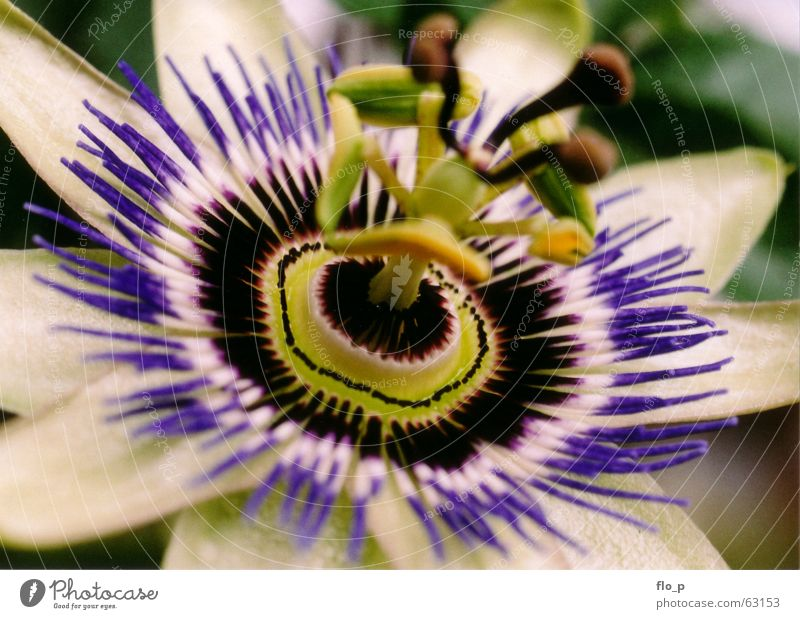 passiflora Passion flower Flower Blossom Macro (Extreme close-up) Nature