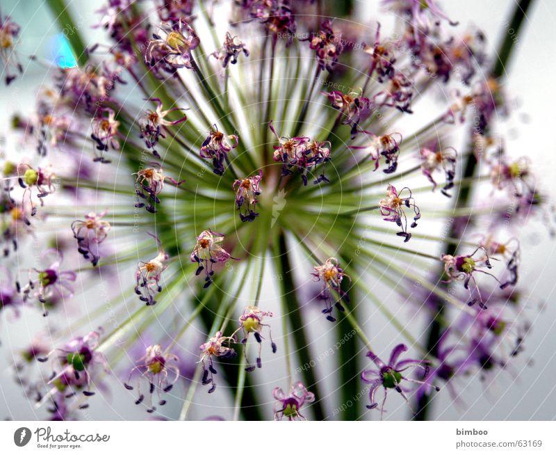 Flower Violet Explosive