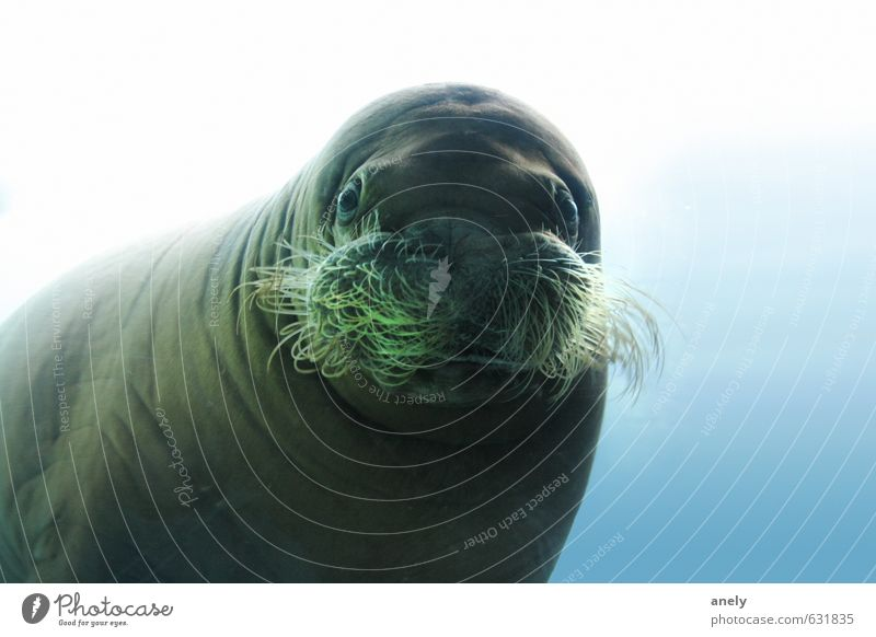 In the mirror Nature Water Ocean Animal Wild animal Zoo Aquarium 1 Serene Curiosity Surprise Sea lion Beard hair Goggle eyes Underwater photo Calm Fat