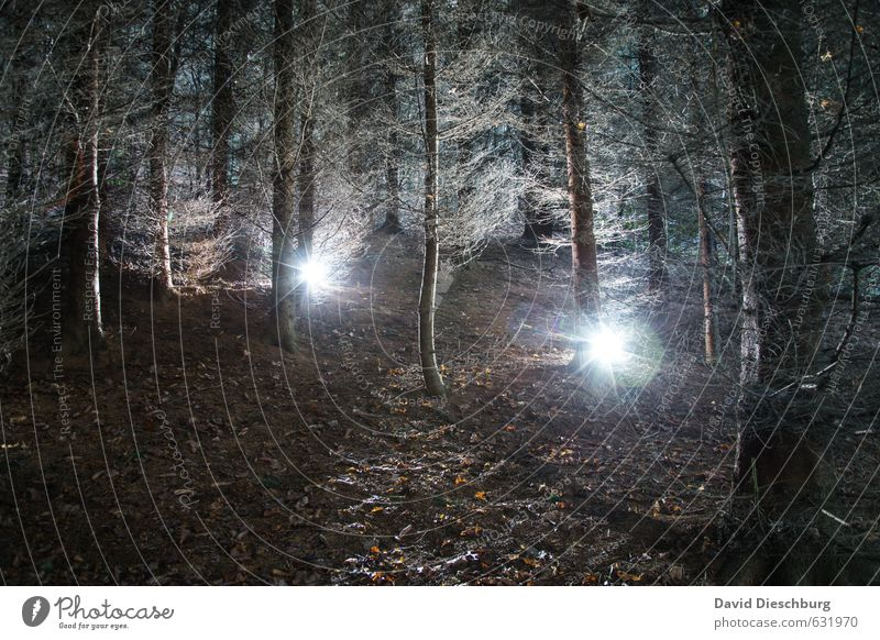 forest lights Nature Plant Animal Tree Forest Virgin forest Blue Brown Black White Coniferous forest Eerie Creepy Enchanted forest Star (Symbol) Woodground Leaf