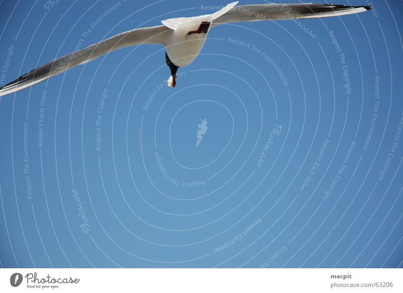 Jonathan livingstone seagull Bird Lake To feed Sky Blue Flying Aviation Free Wing