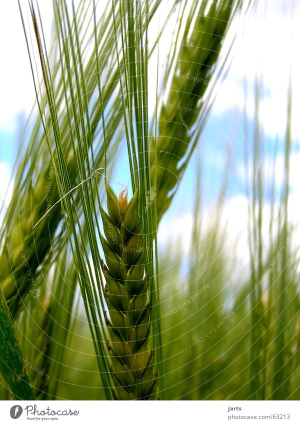 Nature Sky Summer Field Agriculture Grain Organic produce Ear of corn Barley Coarse hair
