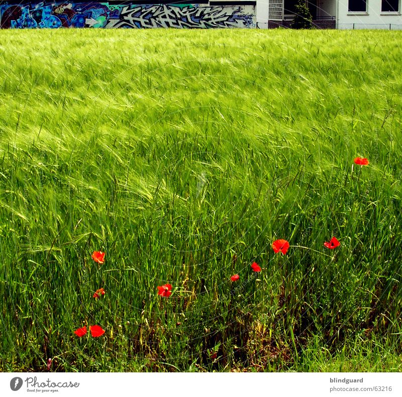 Red Dots In Green Only Poppy Corn poppy Barley Ocean Waves Graffiti flower Grain agricultural economist Agriculture Farm basic beer material