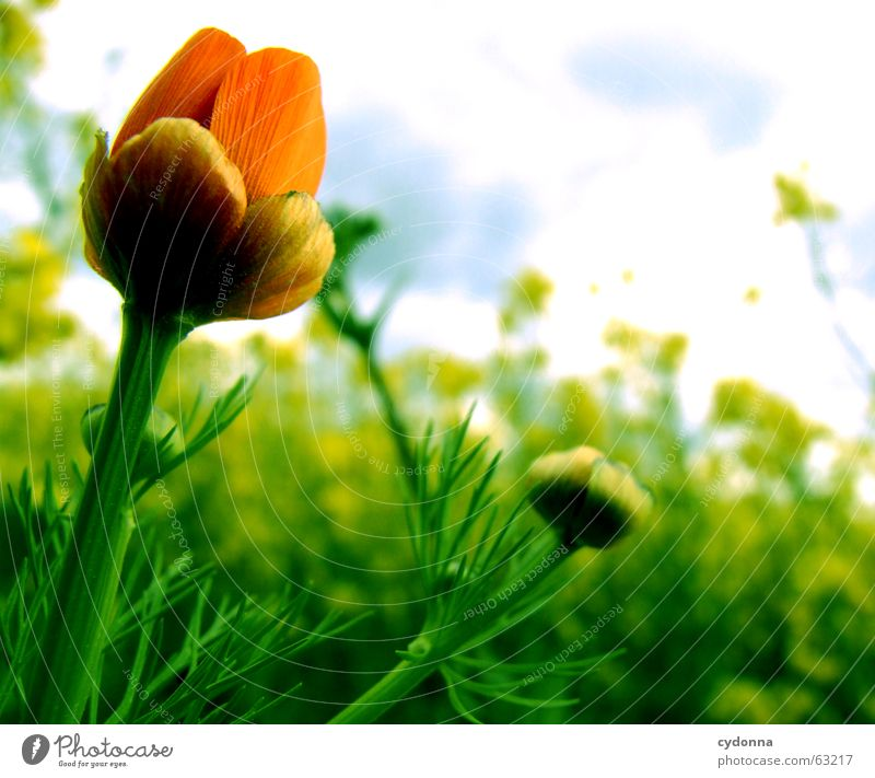 Nature Flower Plant Red Summer Clouds Colour Emotions Blossom Moody Growth Uniqueness Blossoming Mature Poppy Canola