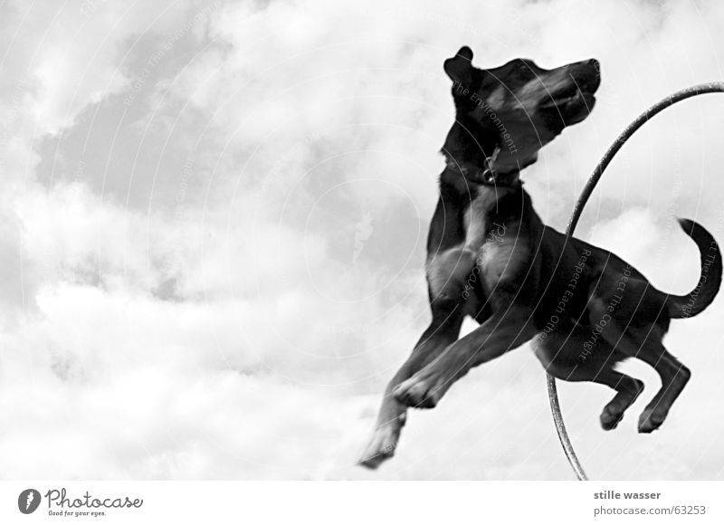 FLYING FOX Clouds Jump Swing Tails Dog Circle Aviation Black & white photo