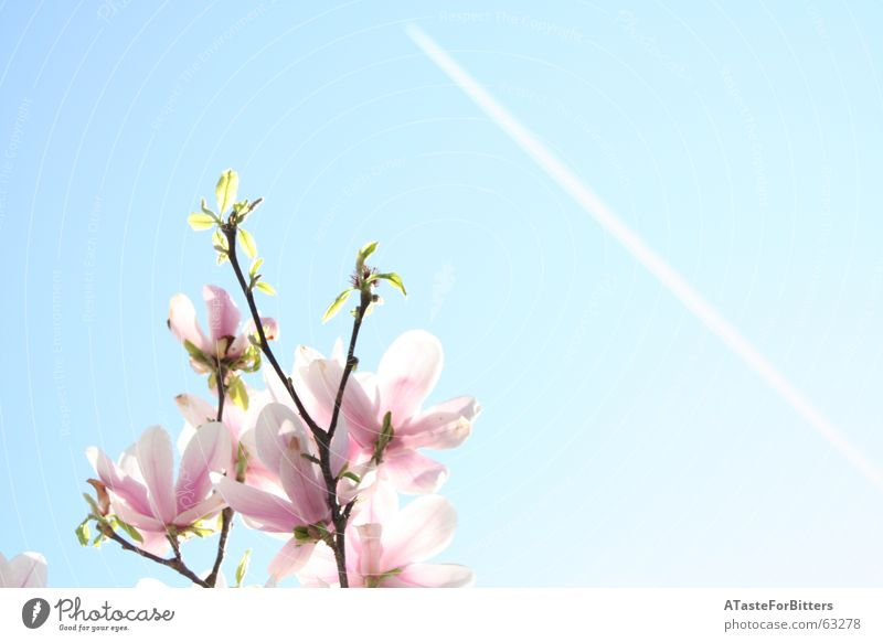 When will it be summer again? Flower Pink Blossom Vapor trail Airplane Tree Spring Summer Exterior shot heaven Blue Clarity Branch Sun Far-off places Freedom