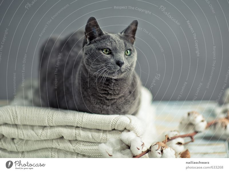 Cat Blue Beautiful Relaxation Animal Gray Elegant Contentment Happiness To enjoy Observe Warm-heartedness Cute Table Soft Friendliness