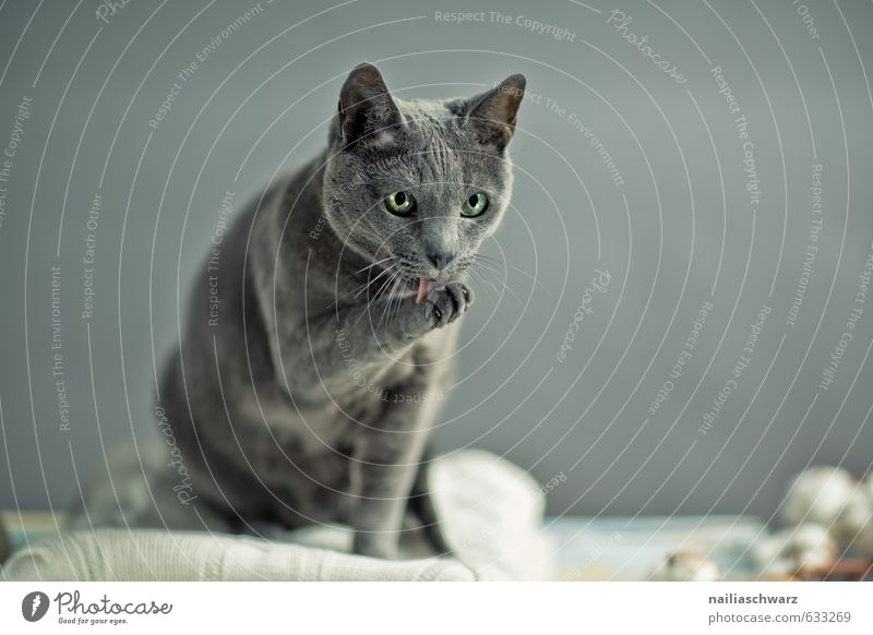 Russian Blue Elegant Sweater Animal Pet Cat russian blue 1 Wool Ceiling Observe Relaxation Cleaning Looking Beautiful Natural Retro Gray Love of animals Romance