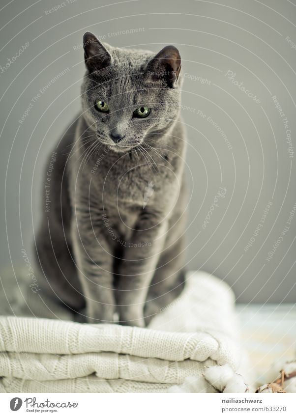 Russian Blue Elegant Sweater Animal Pet Cat Animal face russian blue 1 Ceiling Observe Discover Relaxation Illuminate Looking Sit Friendliness Happiness Natural