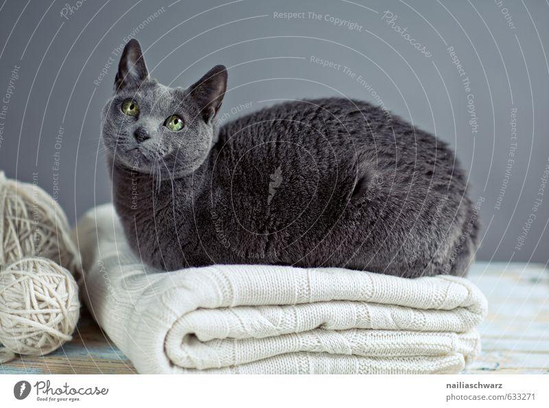 Cat Blue Beautiful Relaxation Animal Gray Happy Natural Lie Elegant Contentment Warm-heartedness Observe Cute Retro Joie de vivre (Vitality)