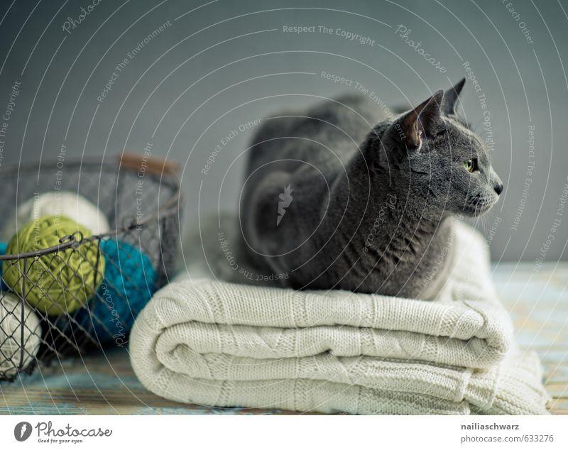 Russian Blue Animal Pet Cat Animal face russian blue 1 Blanket Wool blanket Knot Basket Wire basket Wood Observe Relaxation Lie Elegant Curiosity Cute Positive
