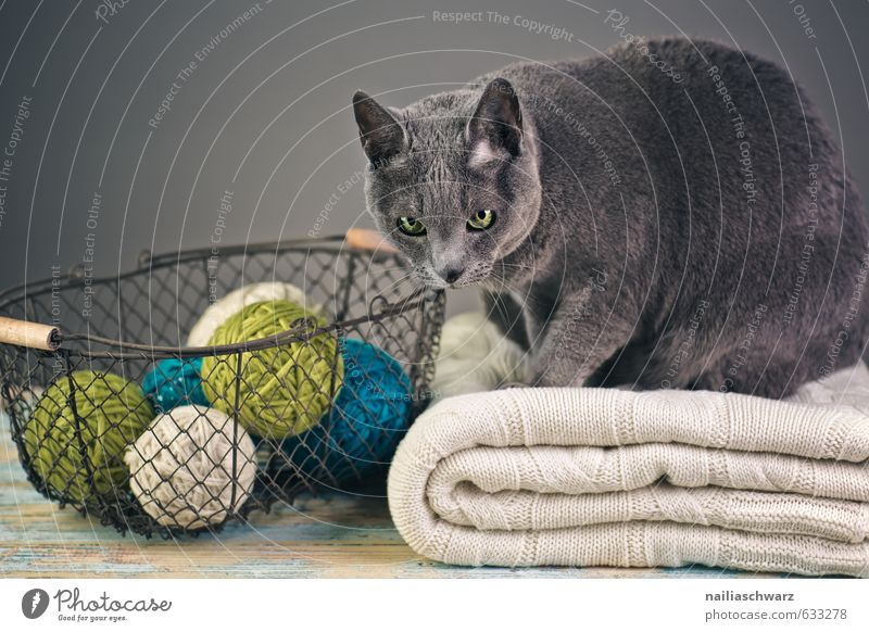Russian Blue Elegant Sweater Animal Pet Cat russian blue 1 Basket Wool Knot Wire basket Blanket Observe Relaxation Looking Cuddly Natural Curiosity Cute Retro