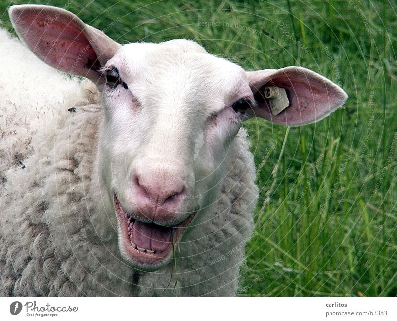Animal Laughter Happy Funny Mouth Nose Happiness Crazy Set of teeth Friendliness Sheep Tilt Lust Wool Head Comical