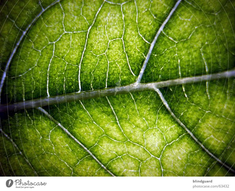 lifeline Leaf Green Macro (Extreme close-up) Plant Vessel Leaf green Light Growth Provision Nutrition Sunflower Photosynthesis Life Structures and shapes Rachis