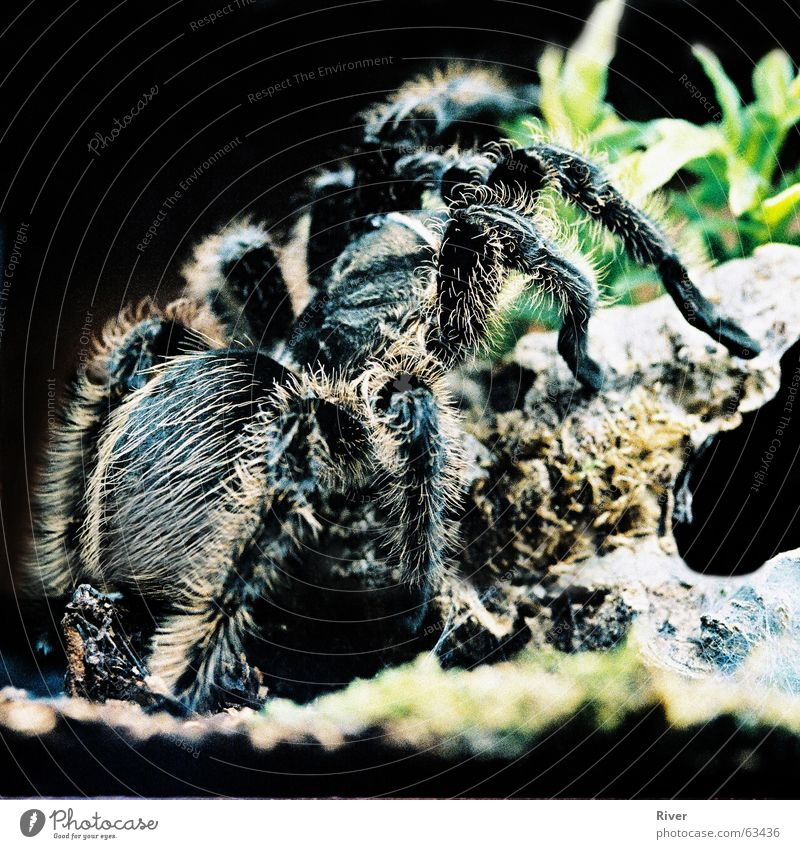 spider Spider Bird-eating spider Disgust Trenchant 8 Hair and hairstyles Legs Net