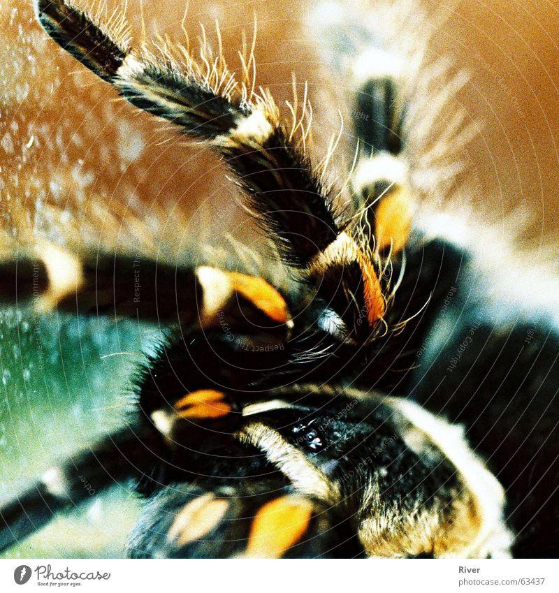 Spider 2 Bird-eating spider Trenchant 8 Net Legs