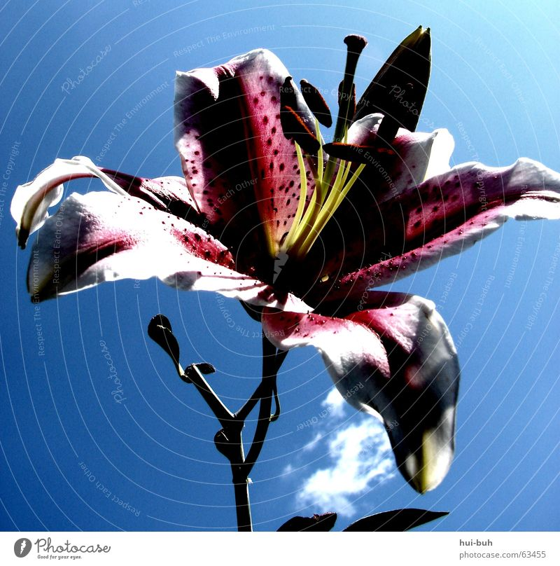 Flower Life Spring Freedom Hope Fragrance Lily