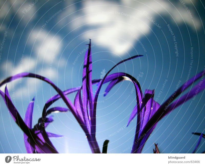 I seek the sun ... Clouds Plant Violet Blossom Summer Esthetic Knapweed Daisy Family Ornamental plant Macro (Extreme close-up) Close-up Sky Shadow Graceful