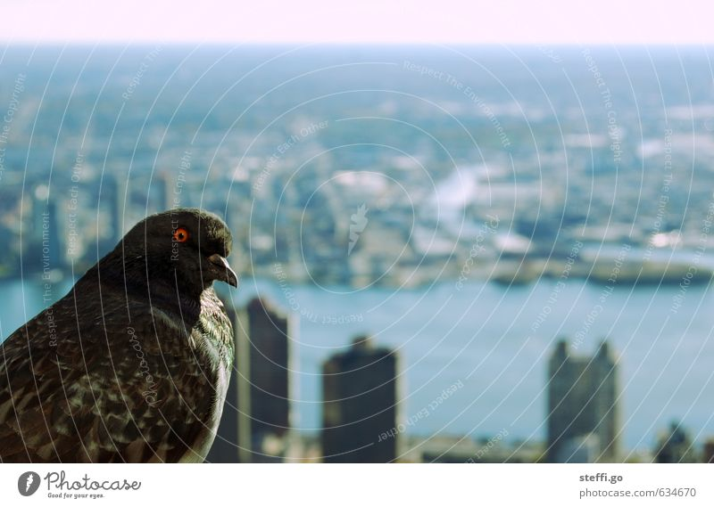 City Animal Bird High-rise Wild animal Vantage point Threat Observe Curiosity Fear of heights Downtown Capital city Pigeon Interest New York City Lookout tower