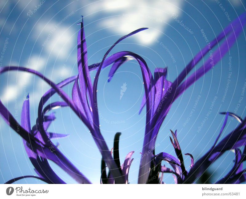 Beautiful Sky Plant Summer Clouds Blossom Esthetic Violet Graceful Flower Daisy Family Ornamental plant Knapweed