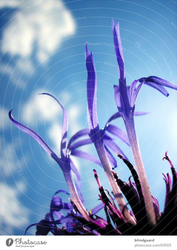 Flake Flower Power Clouds Plant Violet Blossom Summer Esthetic Knapweed Daisy Family Ornamental plant Sky Shadow Graceful Beautiful flower blue