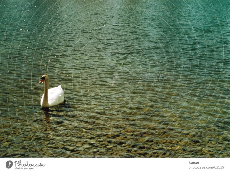 Blue Water White Green Animal Cold Stone Lake Bright Bird Wet Feather Float in the water Analog Duck Pigeon
