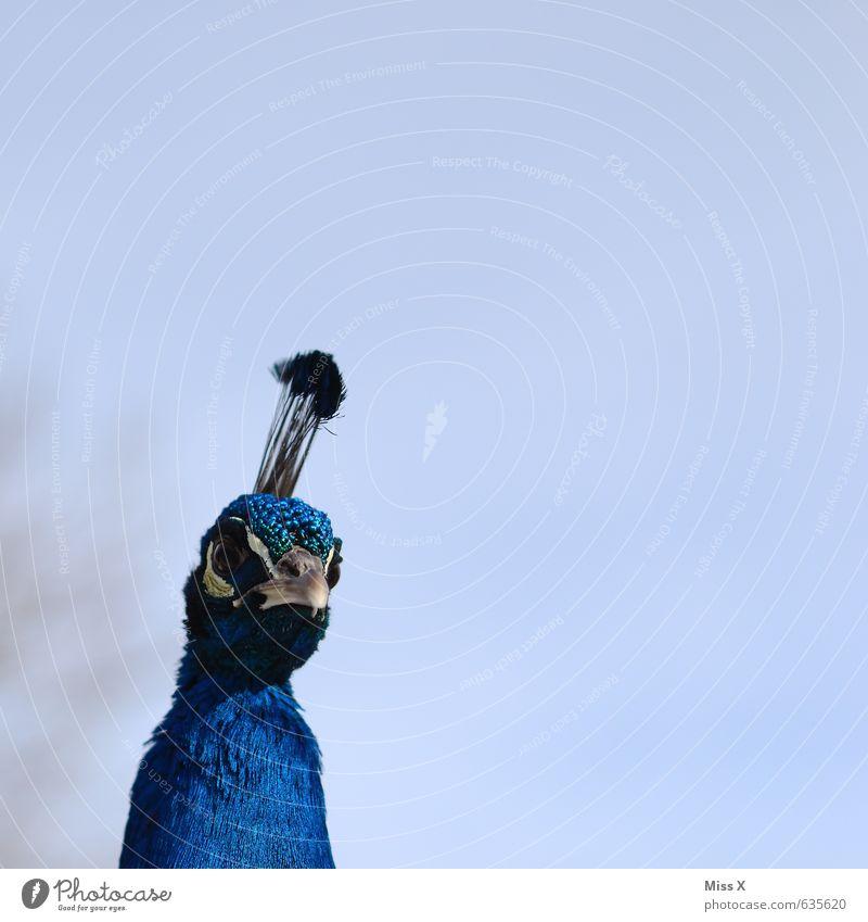 Blue Animal Emotions Bird Curiosity Pride Beak Conceited Peacock Peacock feather Feather headdress