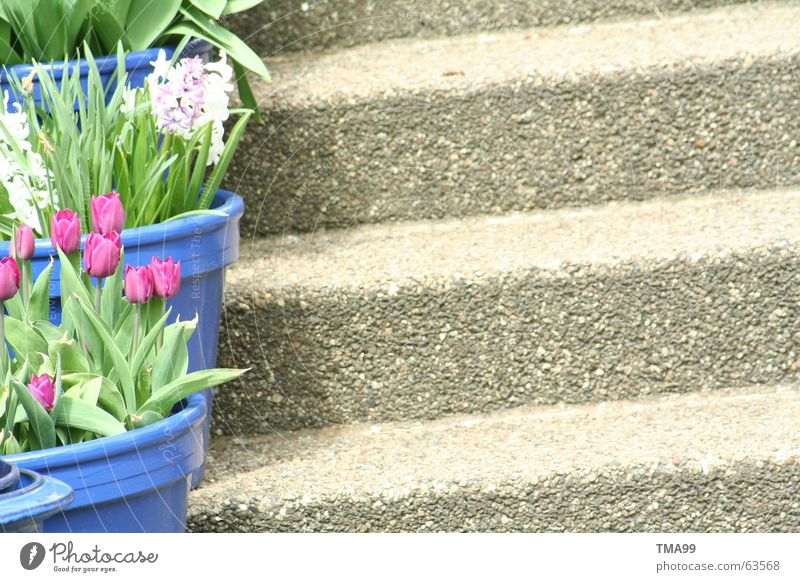 top of page Tulip Flowerpot Violet White Green Spring House (Residential Structure) Plant Blue Stairs Shadow Garden Idyll Farm