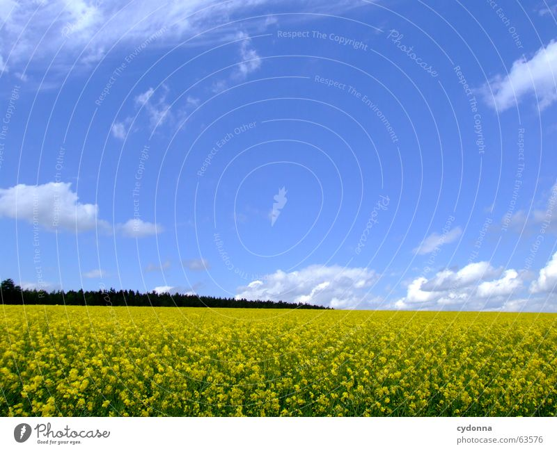 rapsfeld Canola Field Flower Agriculture Country life Summer Yellow Clouds Beautiful Forest Roll Far-off places Emotions Well-being Dream Maturing time Spring