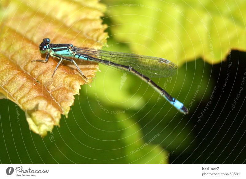 Green Leaf Flying Wing Insect Dragonfly Bright green