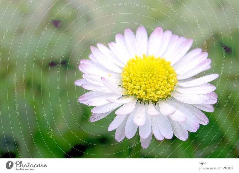 daisies Spring Close-up