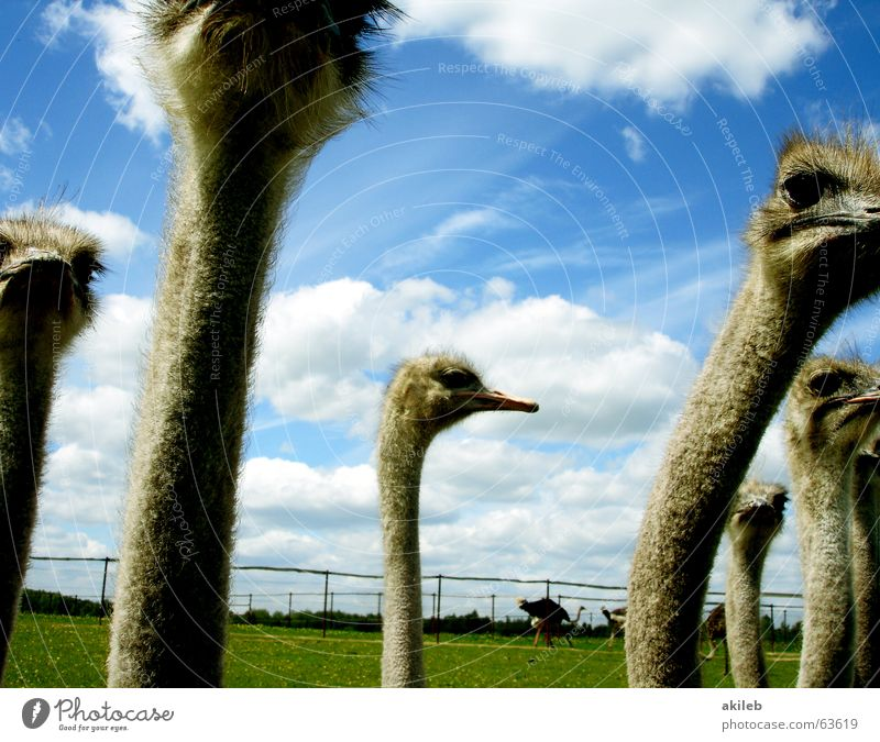 Sky Clouds Animal Bird Multiple Observe Middle Ostrich