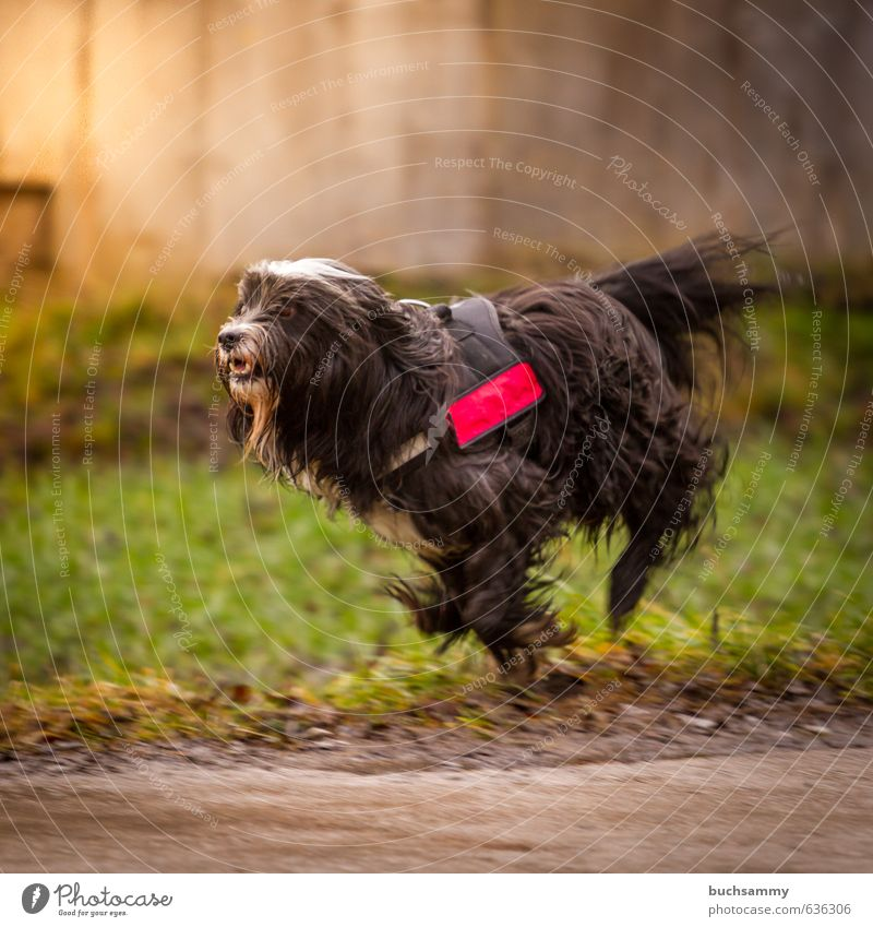 Tibet - Terrier at the race Nature Sunlight Grass Wall (barrier) Wall (building) Black-haired Long-haired Animal Pet Dog 1 Walking Running Romp Athletic Happy
