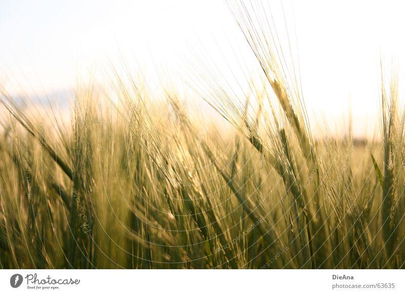 Nature Sky Warmth Cornfield Ear of corn Barley Evening sun