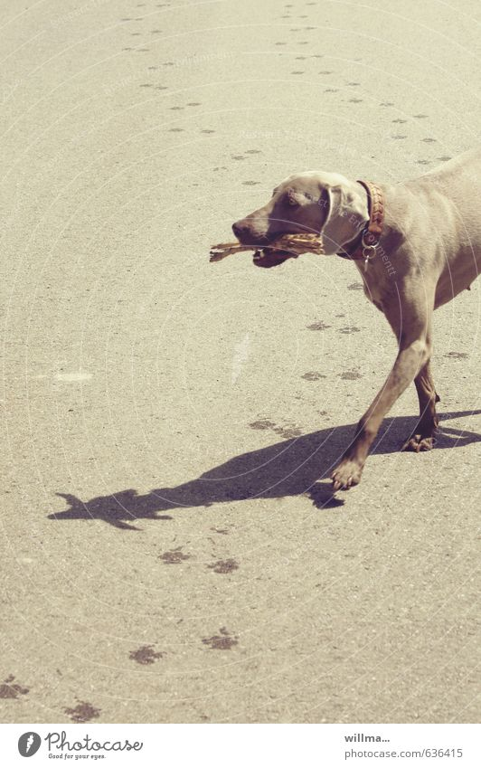 Dog Animal Warmth Brown Walking Tracks Pet Stick Summery Dog collar Weimaraner Warm light Tracking