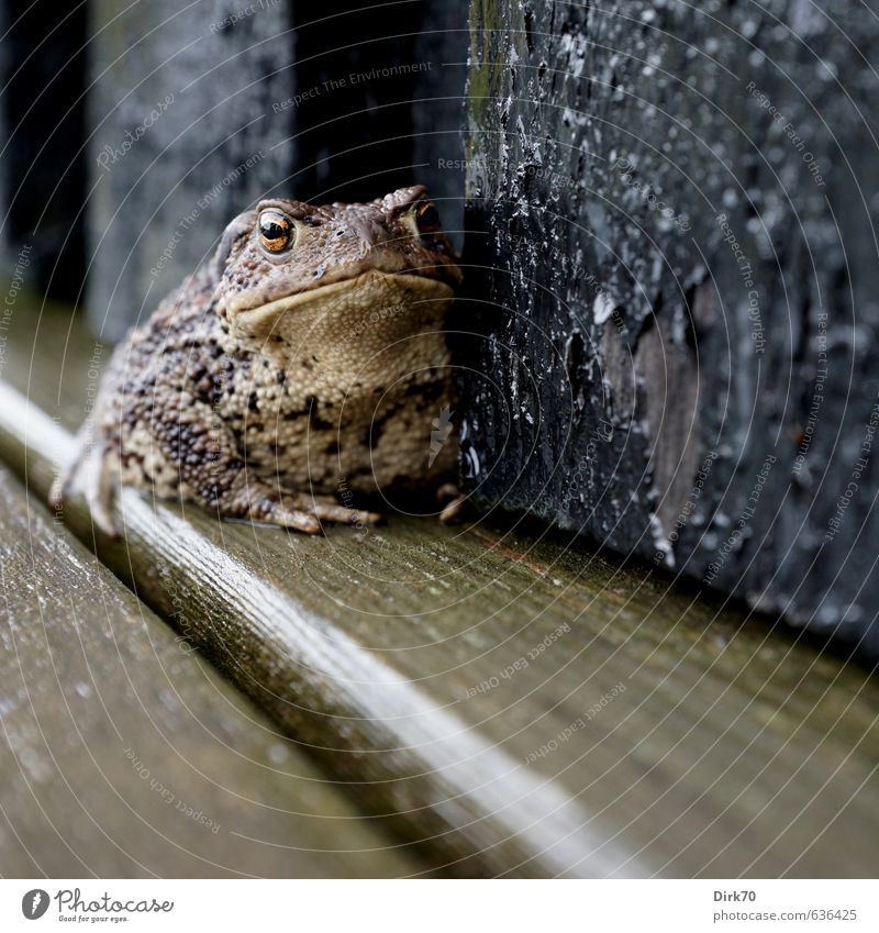 Tüchtig 'something to swallow ... Denmark Wall (barrier) Wall (building) Terrace Wild animal Frog Painted frog Common toad Toad migration Amphibian 1 Animal