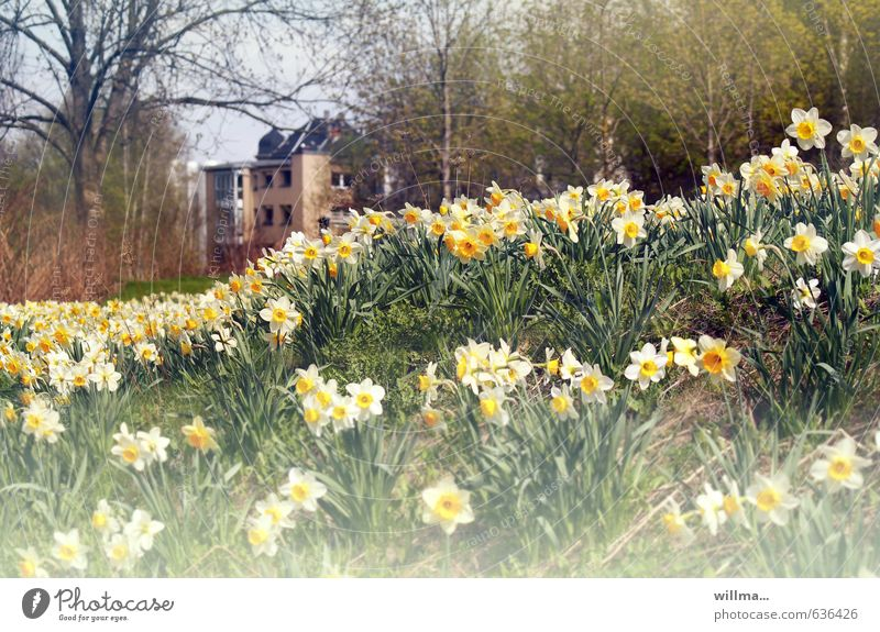 wild springflower Spring Flower Narcissus Wild daffodil narcissus meadow Tree Spring flower Park Meadow Fragrance Poison Outskirts Colour photo Exterior shot