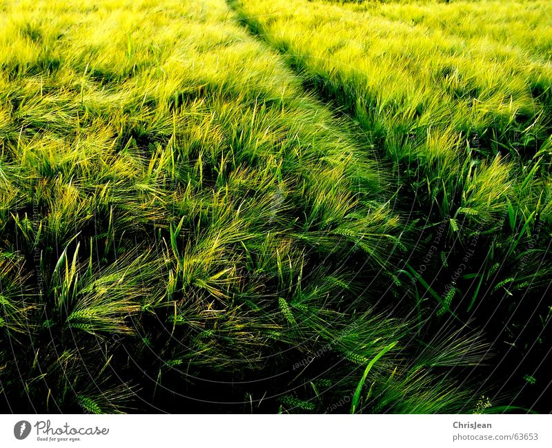Nature Green Yellow Relaxation Work and employment Field Glittering Background picture Growth Tracks Americas Blade of grass Grain Fine Visual spectacle