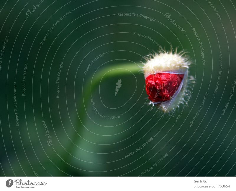 Nature Flower Green Red Loneliness Blossom Spring Open Delicate Blossoming Bouquet Poppy Bud Thorny Bend