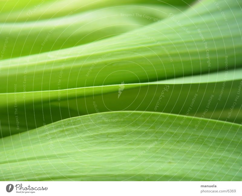 tulip leaves Plant Spring Tulip Leaf Green Fresh Calm Relaxation Linearity Blur Nature Detail Near