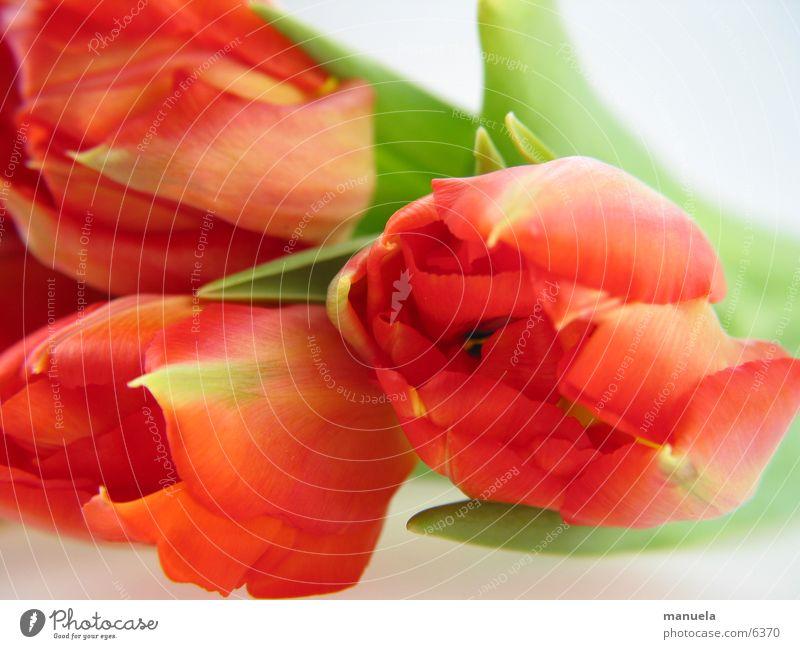 Nature Flower Green Plant Red Leaf Blossom Spring Multicoloured Detail Fresh Tulip