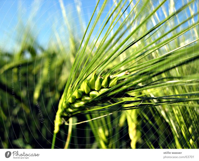 Green Field Seed Barley