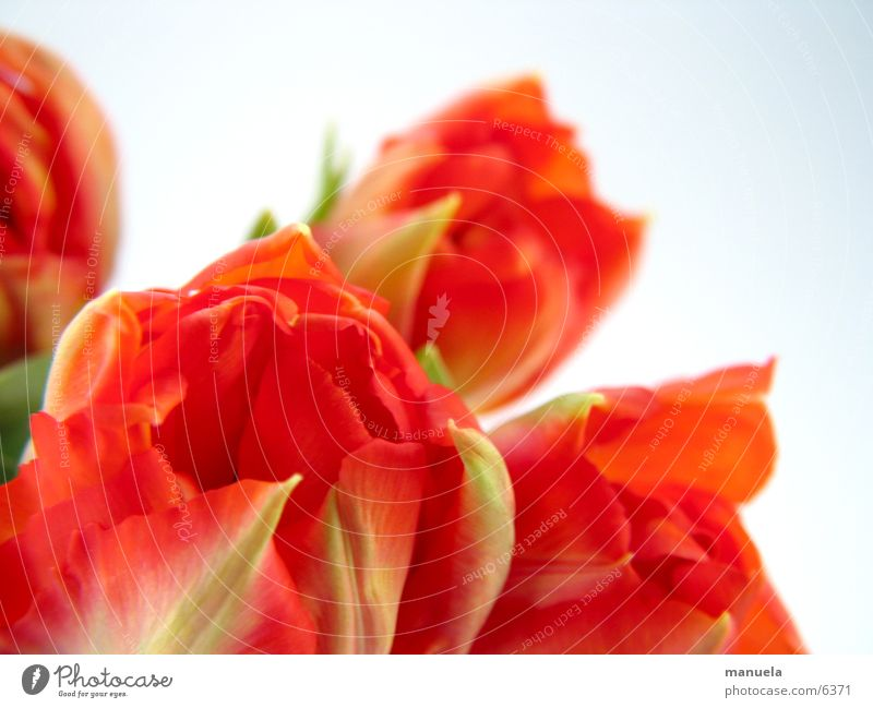 Nature Flower Green Plant Red Blossom Spring Tulip