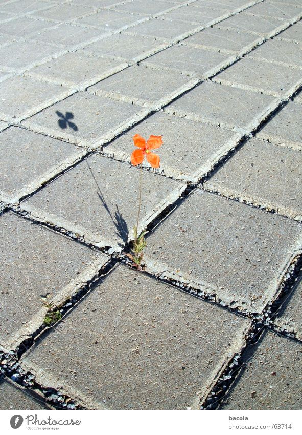 solitary flower Flower Parking lot Red Individual Loneliness Asphalt Seam Stone Shadow
