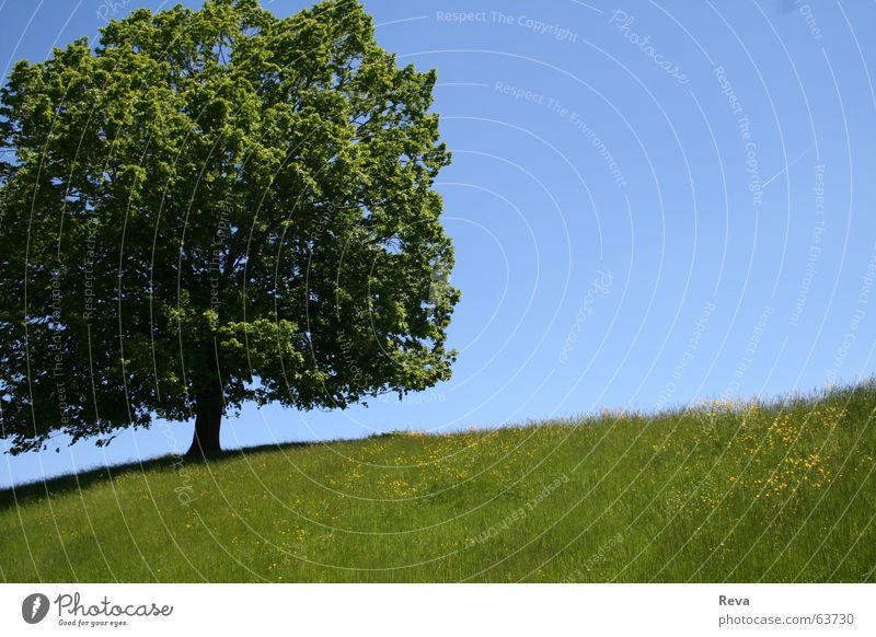 Sky Tree Green Blue Summer Leaf Loneliness Yellow Warmth Large Physics Hill Tree trunk Beautiful weather
